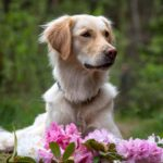 Golden Retriever in Blüten Blumenshooting