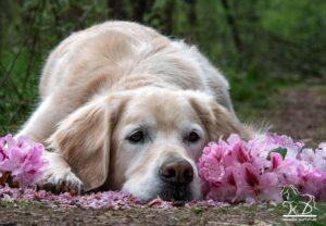 Golden Retriever in Blüten Blumenshooting