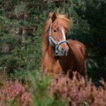 Fotoshooting Lüneburger Heide Islandpferd