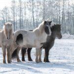 Islandpferde im Schnee
